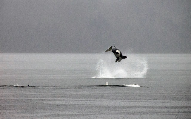 Dolphins and orcas slowly coming back around Vancouver and Squamish / Ocean Great Ideas