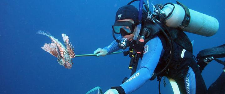 Lionfish invasion, First managment showing promise of success / Ocean Great Ideas