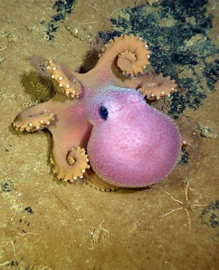 Octopuses! These fascinating creatures are considered the most intelligent of all invertebrates / Ocean Great Ideas