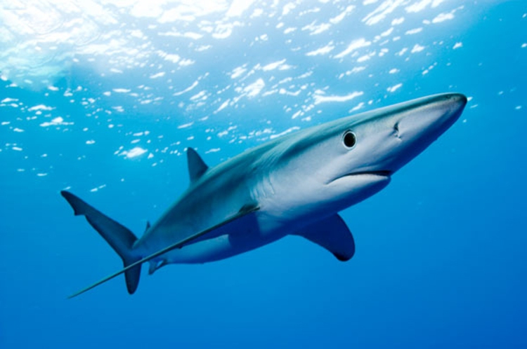 New Zealand Accelerates Ban on Shark Finning / Ocean Great Ideas