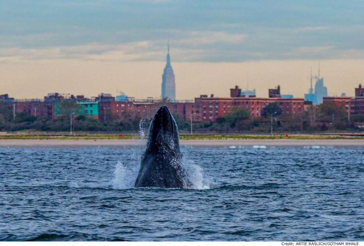 A humpback whale – named Jerry by researchers – spyhops off New York City / Ocean Great Ideas